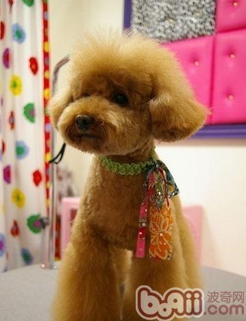 狗狗夏天到底应不应该将全身毛发剃光-狗狗美容