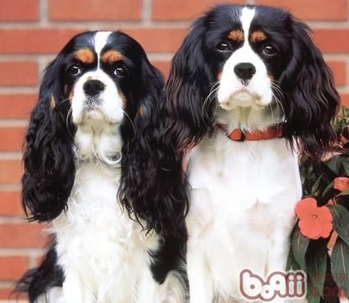 查理士王小猎犬的性格特点-狗狗品种